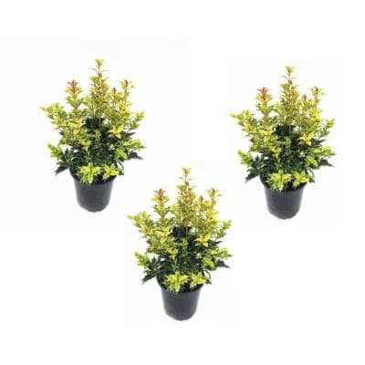 4 in. Goshiki Osmanthus Plant with Red Berries (3-Pack)