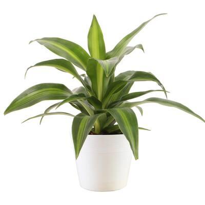 6 in Vigoro Dracaena Asst Plants in Upgrade Pot