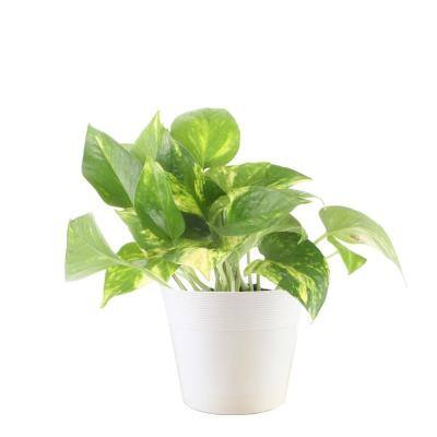 6 in. Vigoro Pothos Plant in White Décor Plastic Pot