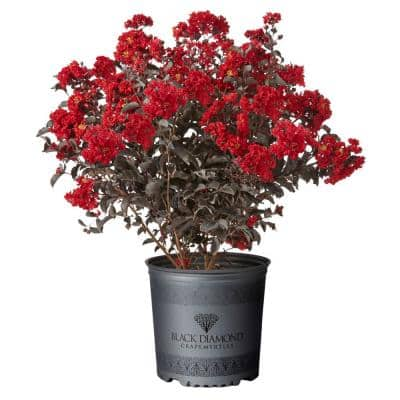 7 Gal. Best Red Crape Myrtle Tree with Red Flowers