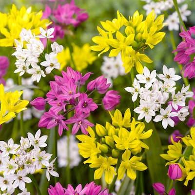 Allium Blend Bulbs (100-Pack)