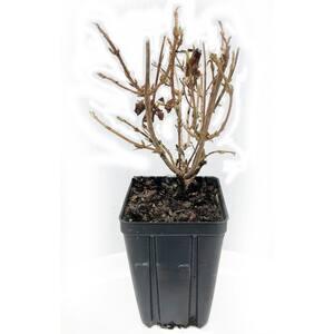 Minor Black Wiegela Potted Flowering Shrub