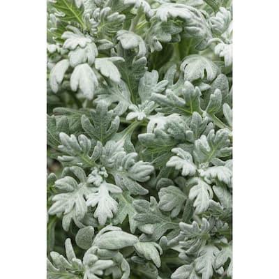 4.5 in. Qt. Quicksilver Dusty Miller (Artemisia) Live Plant, Silver Foliage