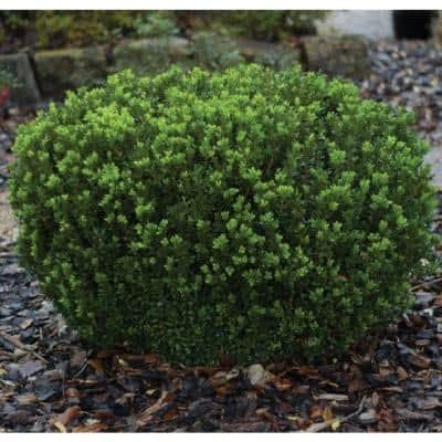3 Gal. Baby Gem Boxwood Shrub (Buxus) with Naturally Rounded Deer-Resistant Foliage