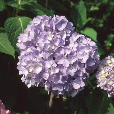 1 Gal. Endless Summer BloomStruck Hydrangea Shrub with Purple Flowers
