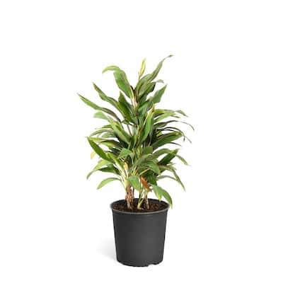 3 Gal. Cordyline Rising Sun Plant