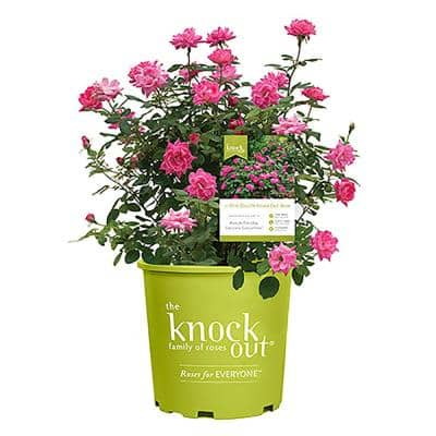 2 Gal. The Pink Double Knock Out Rose Bush with Pink Flowers