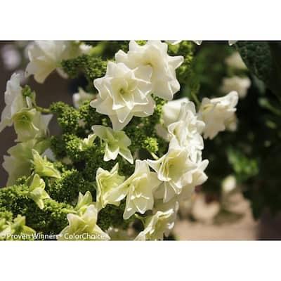 Gatsby Star Oakleaf Hydrangea (Quercifolia) Live Shrub, White Flowers, 1 Gal.