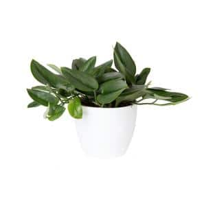 Trending Tropicals Sterling Silver Plant in 6 in. White CeramicPot