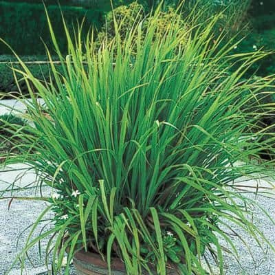 2 in. Pot Lemon Grass Plant, Live Potted Herb Plant (1-Pack)