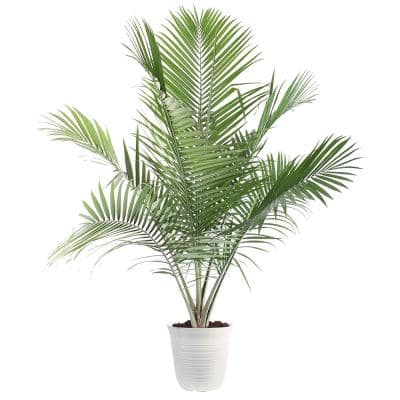 13 in. Majesty Palm Plant in Havana Container