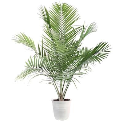 13 in. Ravenea Majesty Palm Plant in White Plastic Deco Pot