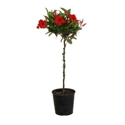 2 Gal. Red Mandevilla Topiary Plant in 9.25 in. Grower Pot