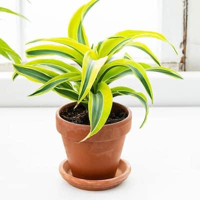 4 in. Pot Lemon Surprise Dracaena, Live Potted Tropical Plant (1-Pack)