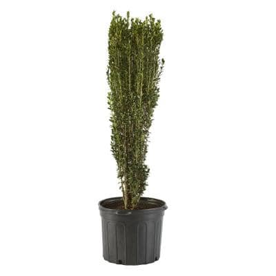 2.25 Gal. Holly Sky Pencil Shrub