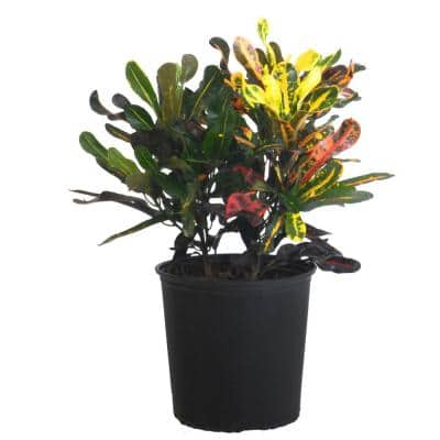 Croton Mammy Live Indoor Codiaeum Variegatum Plant Shipped in 9.25 in. Grower Pot 20 in. to 26 in. Tall