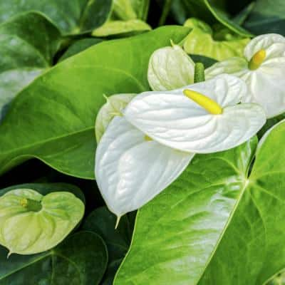 6 in. Lace leaf White Heart Anthurium Plant in Grower Pot