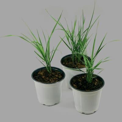0.5 Qt. Karl Foerster Grass (3-Piece)