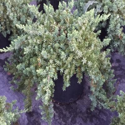 3 Gal. Blue Pacific Juniper Shrub