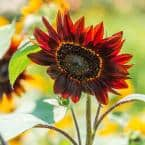 Rouge Royale Sunflower Seeds (25 Seed Packet)