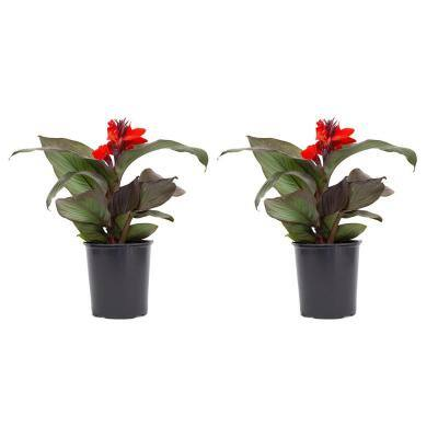 2.5 Qt. Canna Lily Red Flowers in 6.33 In. Grower's Pot (2-Plants)