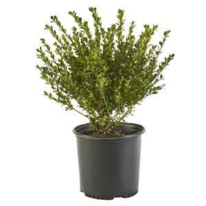 2.25 Gal. Compacta Holly (Ilex) Evergreen Shrub