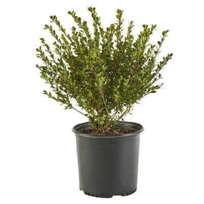 2.25 Gal. Compacta Holly (Ilex) Evergreen Shrub