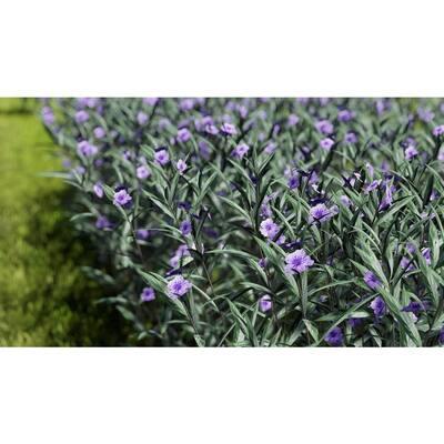 2.5 Qt. Ruellia Purple Flower in 6.33 in Grower's Pot (4-Pack)
