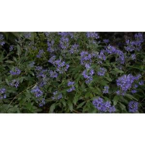 1 Gal. Beyond Midnight Bluebeard (Caryopteris) Live Shrub, Blue Flowers and Glossy Green Foliage