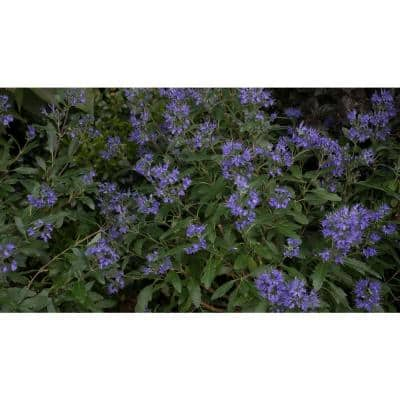4.5 in. Qt. Beyond Midnight Bluebeard (Caryopteris) Live Shrub, Blue Flowers and Glossy Green Foliage