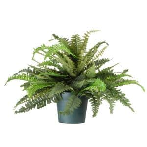20 in. Fern Plant