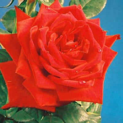 Fragrant Red Masterpiece Hybrid Tea Rose Plant with Red Flowers