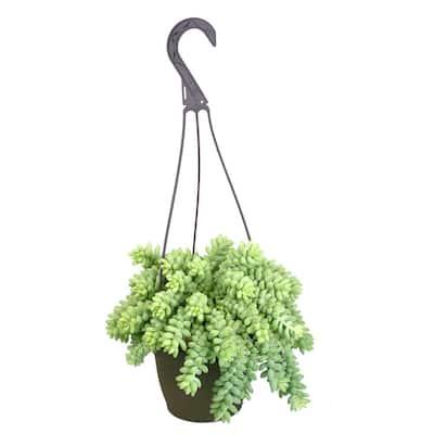 6 in. Sedum Burrito Hanging Basket Plant