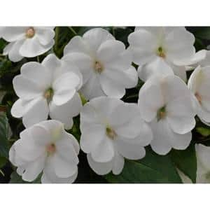 2 Gal. SunPatiens White Impatien Outdoor Annual Plant with White Flowers in 12 In. Hanging Basket