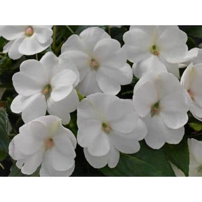 1.97 Gal. SunPatiens White Impatien Outdoor Annual Plant with White Flowers in 2.75 In. Cell Grower's Tray (18-Plants)