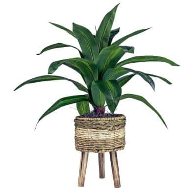 24 in. Dracaena in Tri-Color Basket Stand