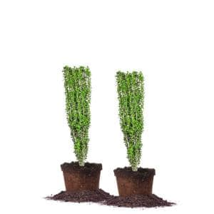 2 ft. to 3 ft. Sky Pencil Holly Plant (2-Pack)
