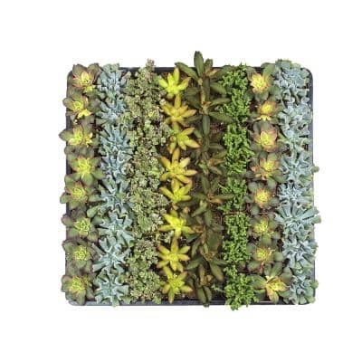 2 in. Mini Succulent Plants Collection (64-Pack)