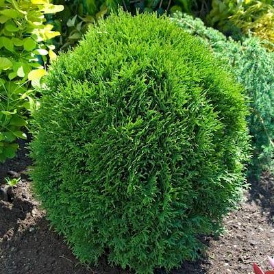 1.50 Gal. Pot Little Giant Globe Arborvitae (Thuja), Live Evergreen Shrub (1-Pack)