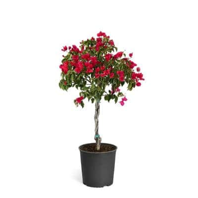 2 Gal. Barbara Karst Bougainvillea Purple Flowering Tree
