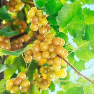 4 in. Pot Oh My Grape Vine Vitis Live Potted Fruiting Plant (1-Pack)