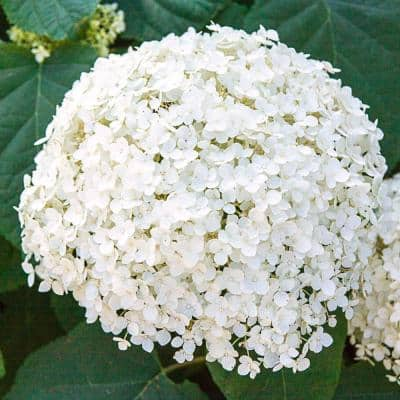 4 in. Pot Green Foliage Annabelle Hydrangea Live Deciduous Plant with White Flower