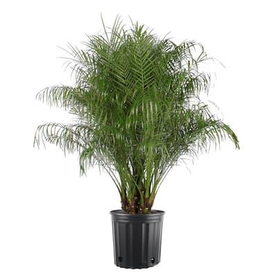 5 Gal. Phoenix Robeline Palm Plant in Pot