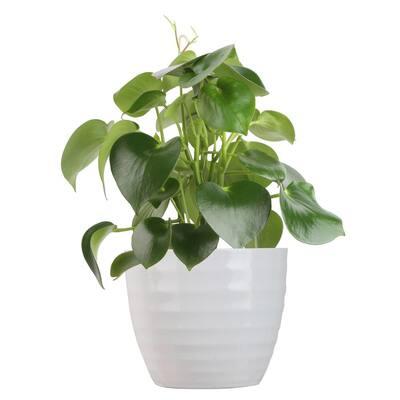Trending Tropicals Raindrop Peperomia Plant in 6 in. Ceramic Pot