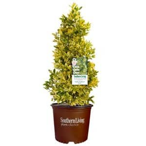 3 Gal. Golden Oakland Holly Plant with Golden Variegated Foliage