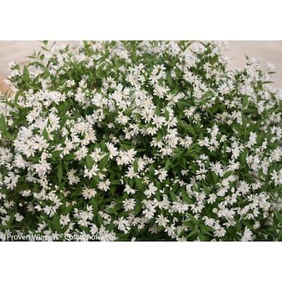 4.5 in. Qt. Yuki Snowflake (Deutzia) Live Shrub, White Flowers