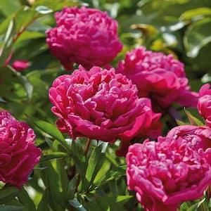 Peonies Bulbs Karl Rosenfield (Set of 6 Roots)