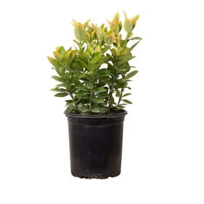 2.5 Qt. Golden Euonymus, Live Evergreen Shrub, Green and Gold Variegated Foliage