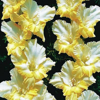 Large Flowering Sunny Side Up White and Yellow Gladiolus Bulbs (12-Pack)