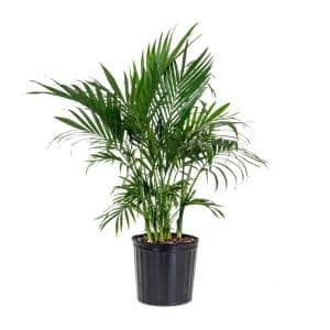 Cat Palm Plant in 9.25 in. Grower Pot